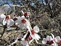 گل بادام كوهي-Almond Flower mountain - panoramio.jpg
