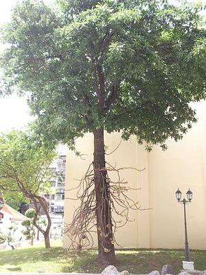 ต้น สาละ Cannonball tree.jpg