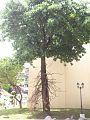 ต้นสาละ Cannonball tree.jpg