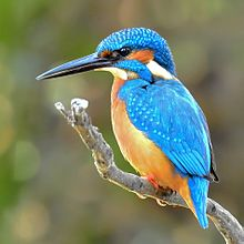 Common Kingfisher Wikipedia