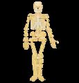 中学校保健体育用の骨格.png