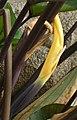 兜芋 Colocasia esculenta 'Tea Cup' -香港公園 Hong Kong Park- (22275675290).jpg