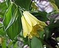 少花萬壽竹 Disporum uniflorum -比利時 Ghent University Botanical Garden, Belgium- (9216083028).jpg