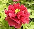 日本牡丹-芳紀 Paeonia suffruticosa Houki -洛陽神州牡丹園 Luoyang, China- (12516909625).jpg