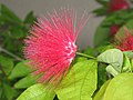 朱纓花屬 Calliandra targimena -香港公園 Hong Kong Park- (9204823113).jpg