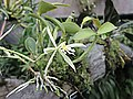樹蘭屬 Epidendrum oerstedii -倫敦植物園 Kew Gardens, London- (9229777068).jpg