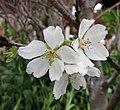 歐洲酸櫻桃 Prunus cerasus -香港花展 Hong Kong Flower Show- (13217887963).jpg