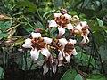 箭毒羊角拗 Strophanthus hispidus -新加坡植物園 Singapore Botanic Gardens- (9240150174).jpg