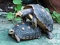 紅腿象龜 Chelonoidis carbonaria - panoramio (1).jpg