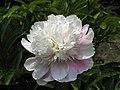 芍藥-芙蓉銀花 Paeonia lactiflora 'Silver Lotus' -北京景山公園 Jingshan Park, Beijing- (12404197814).jpg