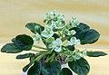 非洲紫羅蘭 Saintpaulia Emerald Love Sport -香港北區花鳥蟲魚展 North District Flower Show, Hong Kong- (38402099615).jpg