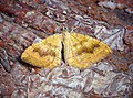 -1742- Yellow Shell (Camptogramma bilineata) (42509855950).jpg
