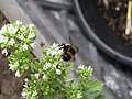 -2019-08-05 Bee on the flower of Oregano (Origanum vulgare), Trimingham.JPG