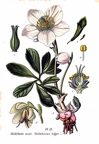 13 Helleborus niger L.jpg