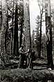 1922. Spotter tagging infested tree for treatment. Tree record card is left in an envelope and attached to the tree. Treating crew notes time and method of treatment and brings the card in. SONC beetle control project. (33567238216).jpg
