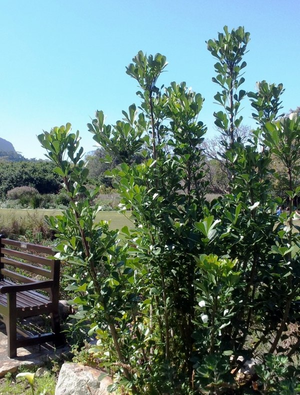 Vegetation types of cape town for Small specimen trees