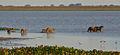 2007 02 Capybaras 08.jpg