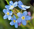 2008-05-04 at 18-26-44-Forgetmenot-Flower.jpg