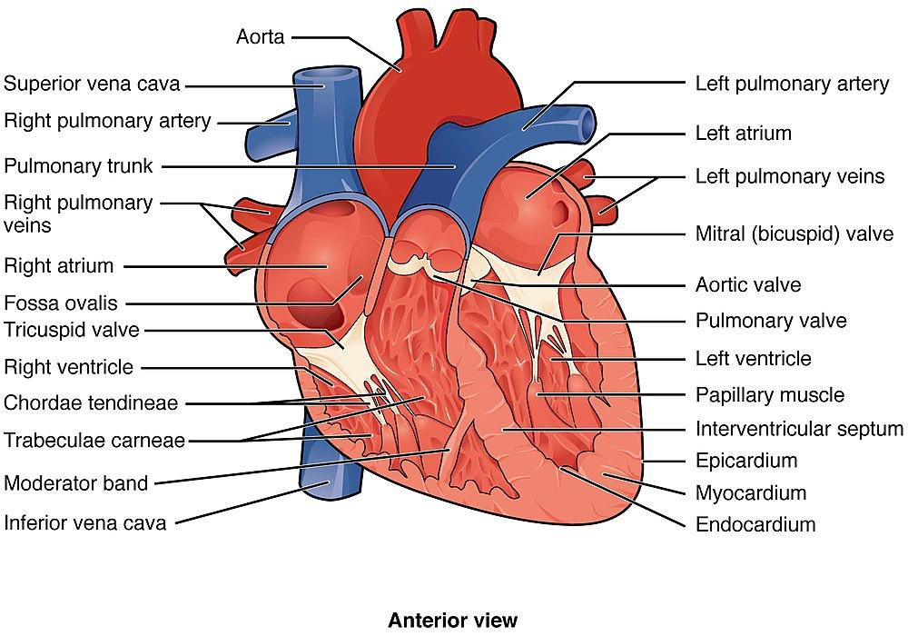 Heart - eAnswers