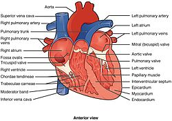 2008 Internal Anatomy of the HeartN.jpg