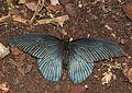 2011-04-25-lepidoptera-hunawihr-14.jpg