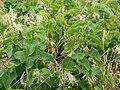 20120624Aristolochia clematitis2.jpg