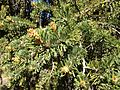 2013-06-27 10 22 45 Great Basin Bristlecone Pine foliage and pollen cones on Spruce Mountain, Nevada.jpg