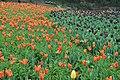 2014-04-04 石象湖 郁金香 liuzusai - panoramio (66).jpg