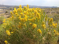 2014-07-19 15 00 42 Rabbitbrush blooming in Elko, Nevada.JPG