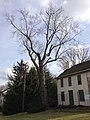 2014-12-30 12 30 29 Silver Maple on the north side of the William Green House at the College of New Jersey in Ewing, New Jersey.JPG