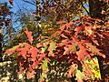 2015-11-08 15 20 26 White Oak foliage during autumn along West Ox Road (Virginia State Secondary Route 608) in Oak Hill, Fairfax County, Virginia.jpg