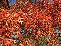 2015-11-15 14 44 09 Scarlet Oak foliage in autumn along Interstate 95 in Hopewell Township, Mercer County, New Jersey.jpg