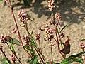 20150821Persicaria lapathifolia1.jpg