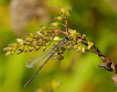 Western willow spreadwing - Lestes viridis, male.