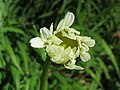 20160505Leucanthemum vulgare2.jpg
