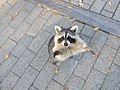 20161006 45 Raccoon (41353018151).jpg