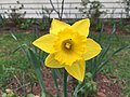 2017-04-03 15 01 50 King Alfred Daffodil blooming along Tranquility Court in the Franklin Farm section of Oak Hill, Fairfax County, Virginia.jpg