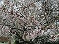 2017-04-03 16 08 38 White Flowering Cherry flowers along Ladybank Lane near Ben Nevis Court in the Chantilly Highlands section of Oak Hill, Fairfax County, Virginia.jpg