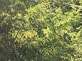 2018-06-23 10.58.21 The flowering of the laburnum.jpg