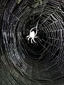 2019-08-22 23 06 21 A spider in a spider web at night (illuminated by the camera flash) along Tranquility Court in the Franklin Farm section of Oak Hill, Fairfax County, Virginia.jpg