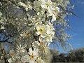 20190320 Prunus cerasifera 13.jpg