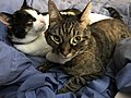 2020-03-22 09 12 21 A Tabby cat and a Calico cat cuddling on a bed in the Franklin Farm section of Oak Hill, Fairfax County, Virginia.jpg
