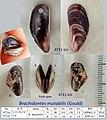 47 Brachidontes mutabilis at Kii pen.jpg