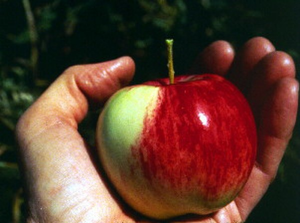 color photograph of a hand holding a red apple