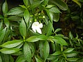 9639Ornamental plants in the Philippines 12.jpg