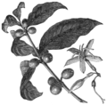 AGTM D124 The coffee plant.png