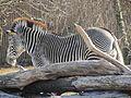A ITALY - Equus grevyi (zebra di Grévy) - Parco Natura Viva - Verona.JPG