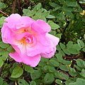A Rose at Station Park Lossiemouth - geograph.org.uk - 1511973.jpg