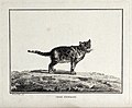 A Spanish cat standing on a field. Etching by C. M. Fessard. Wellcome V0020577.jpg