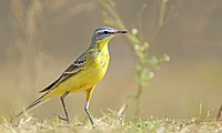 A Yellow Wagtail.jpg